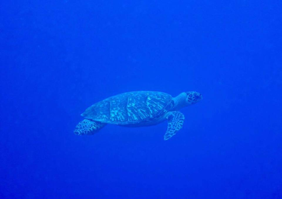 Turtle in Providenciales, Turks and Caicos