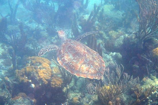 Turtle snorkeling at Smith's Reef Turks and Caicos
