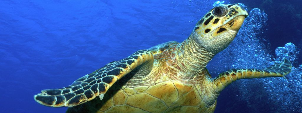 Hawksbill Turtle in Turks and Caicos